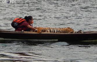 Suyanti Musabin Satu Perahu Dengan Harimau Sumatera